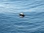 Klart och tydligt kan väl alla se att det troligtvis är en havssköldpadda som guppar i vågorna?