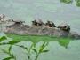 I Finland kallas de kort och gott för <i>Ninjasköldpaddorna</i>. I den tecknade serien utspelades handlingen i kloakerna i New York. Men nu på äldre dar är sköldpaddorna till synes uppe ovan jord och äter gröna alger och enstaka varmkorvar som slängs i dammen.